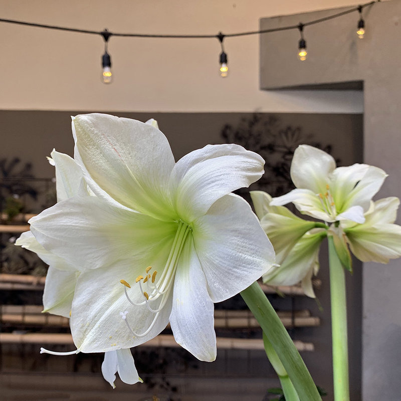 amaryllis flowering