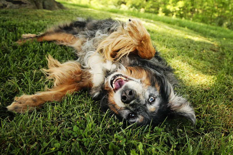 Playful dog rolling in grass