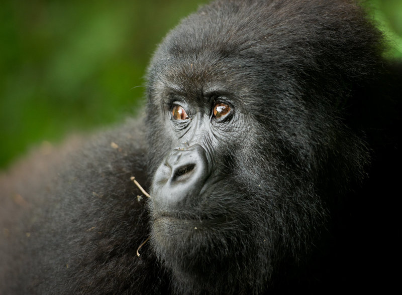 RYALE_Virunga_Gorillas-68-Edit