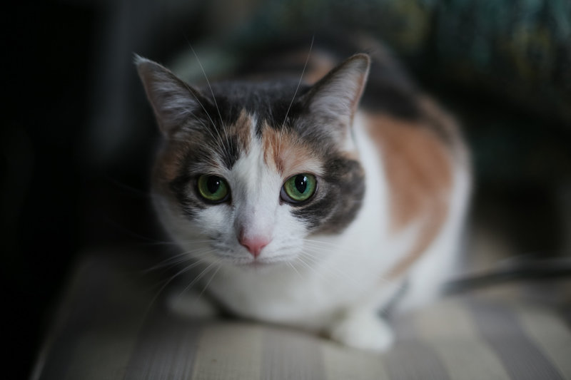 Gray point calico cat with green eyes