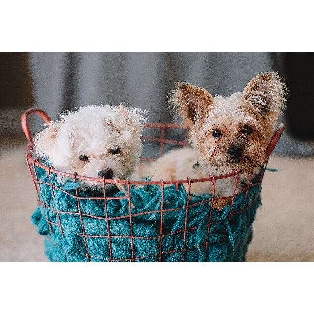 bichon and yorkie in a basket