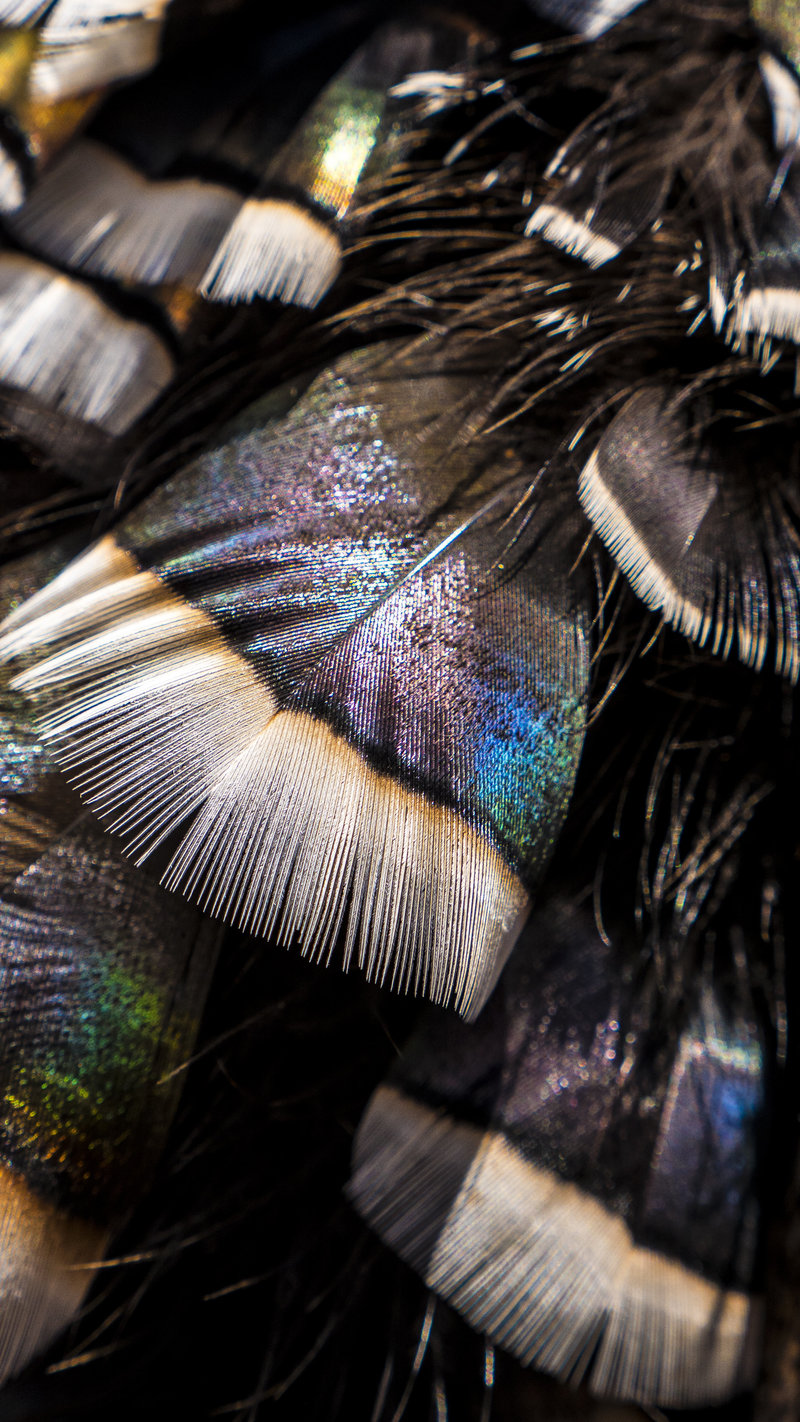 Turkey feathers are absolutely beautiful. In the field with Raven 6 Studios and NWTF.