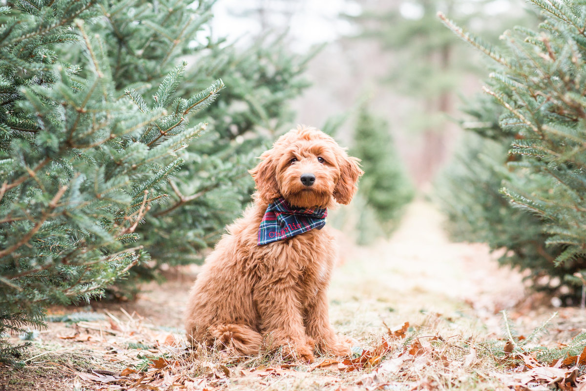 Mini Goldendoodle puppy wearing a plaid scarf