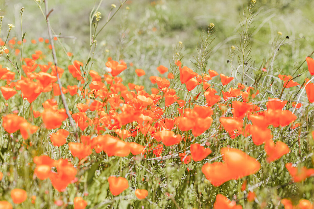 051-052-KBP-superbloom-Poppy-Fields-001