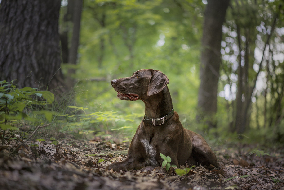 Profile of a German Shorthaired Pointer dog in the forest laying down