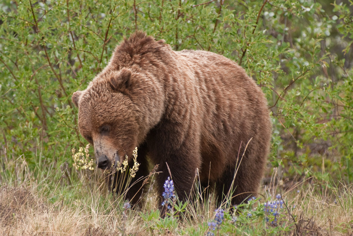 Grizzly - Canada_DSC0039-1