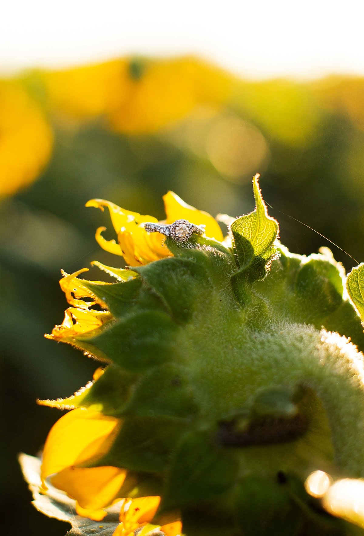 Sunflowers_008