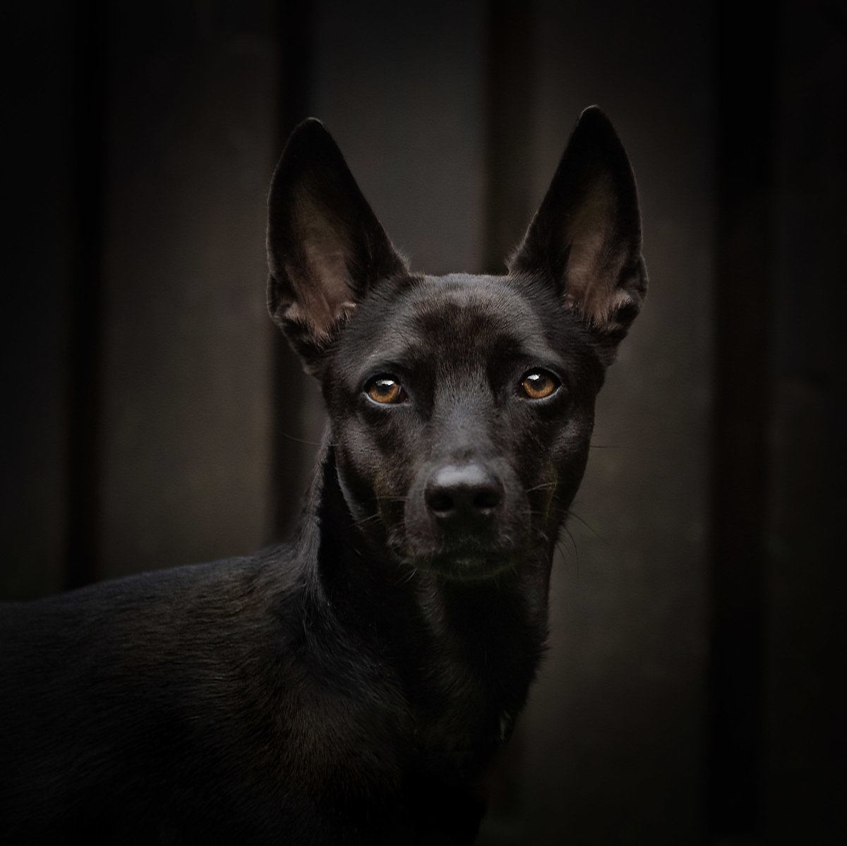 Black Thai  Dog portrait with black background