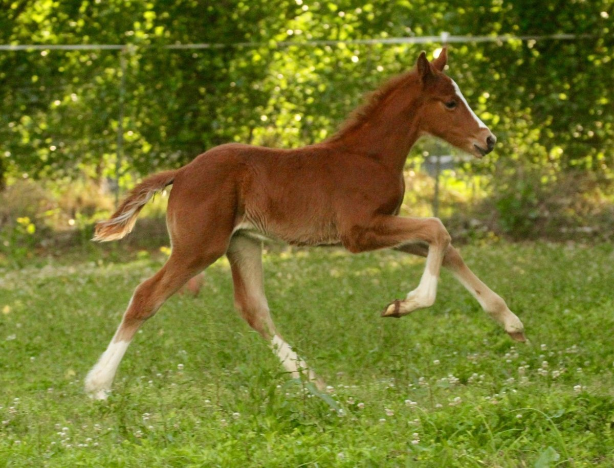 Beautiful Connemara Sport Horse Foal