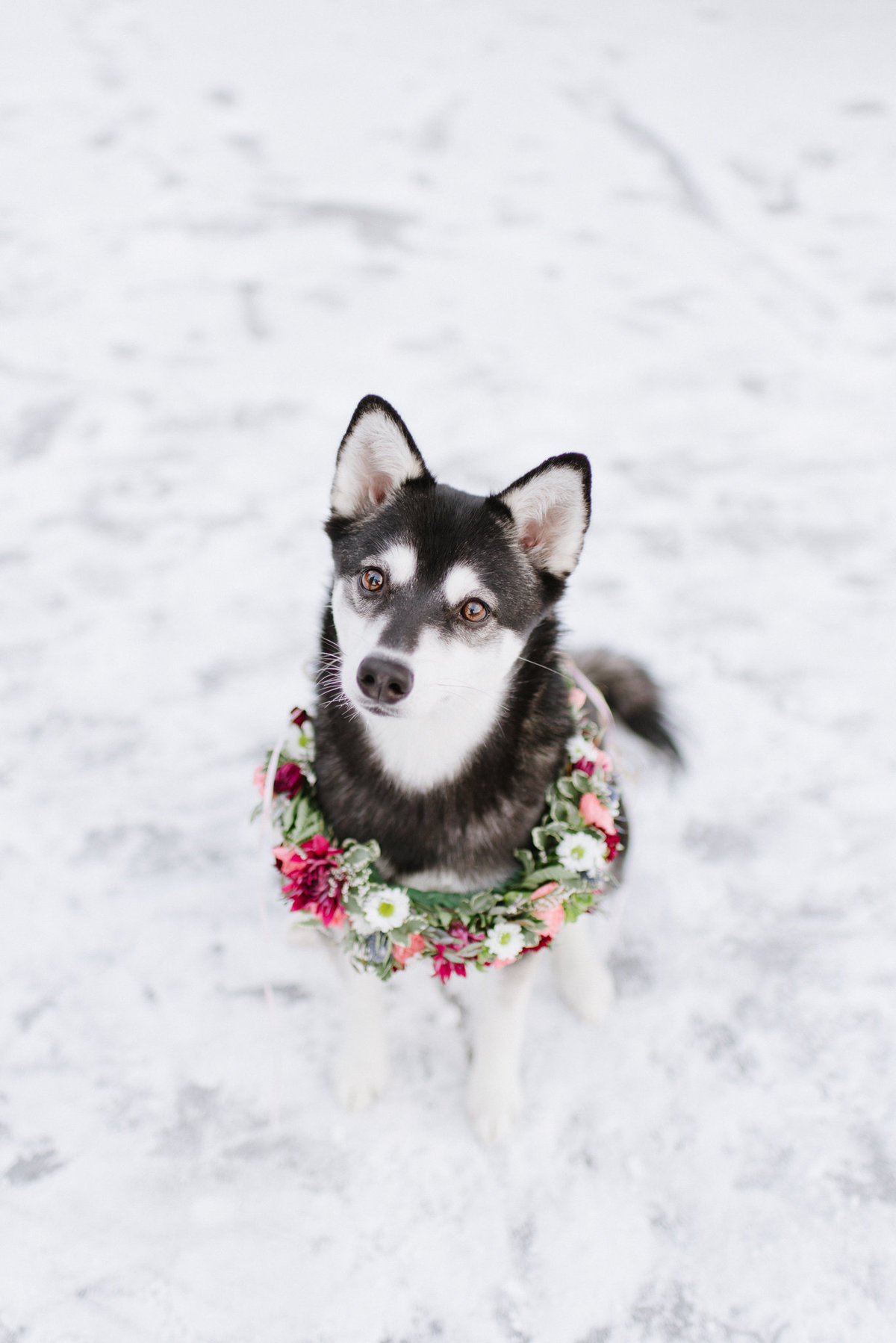 Alaska wedding husky dog