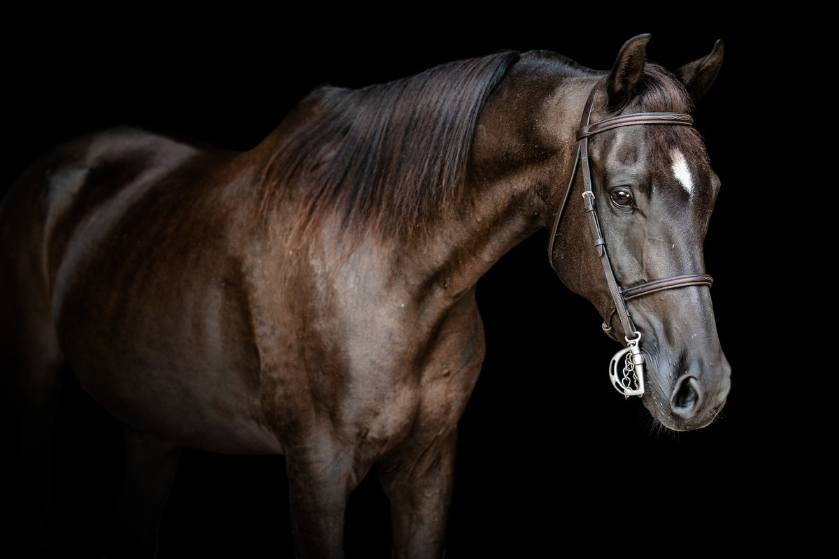 Arabian horse photographer in North Florida