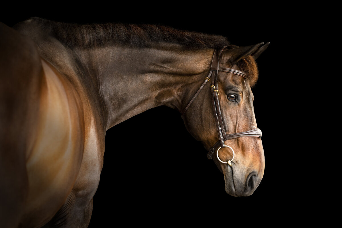 Black background horse photography in Florida
