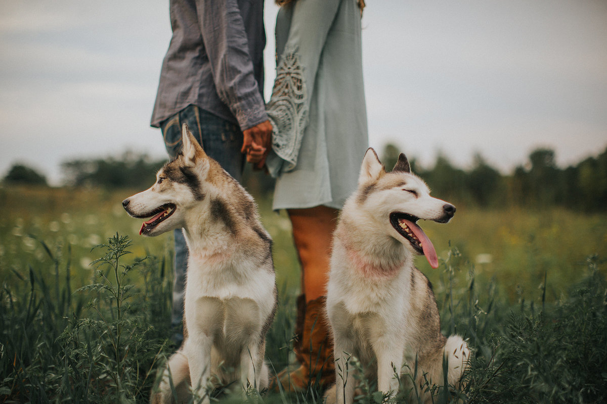 guy and girl in field with husky dogs  during their engagement session photographs