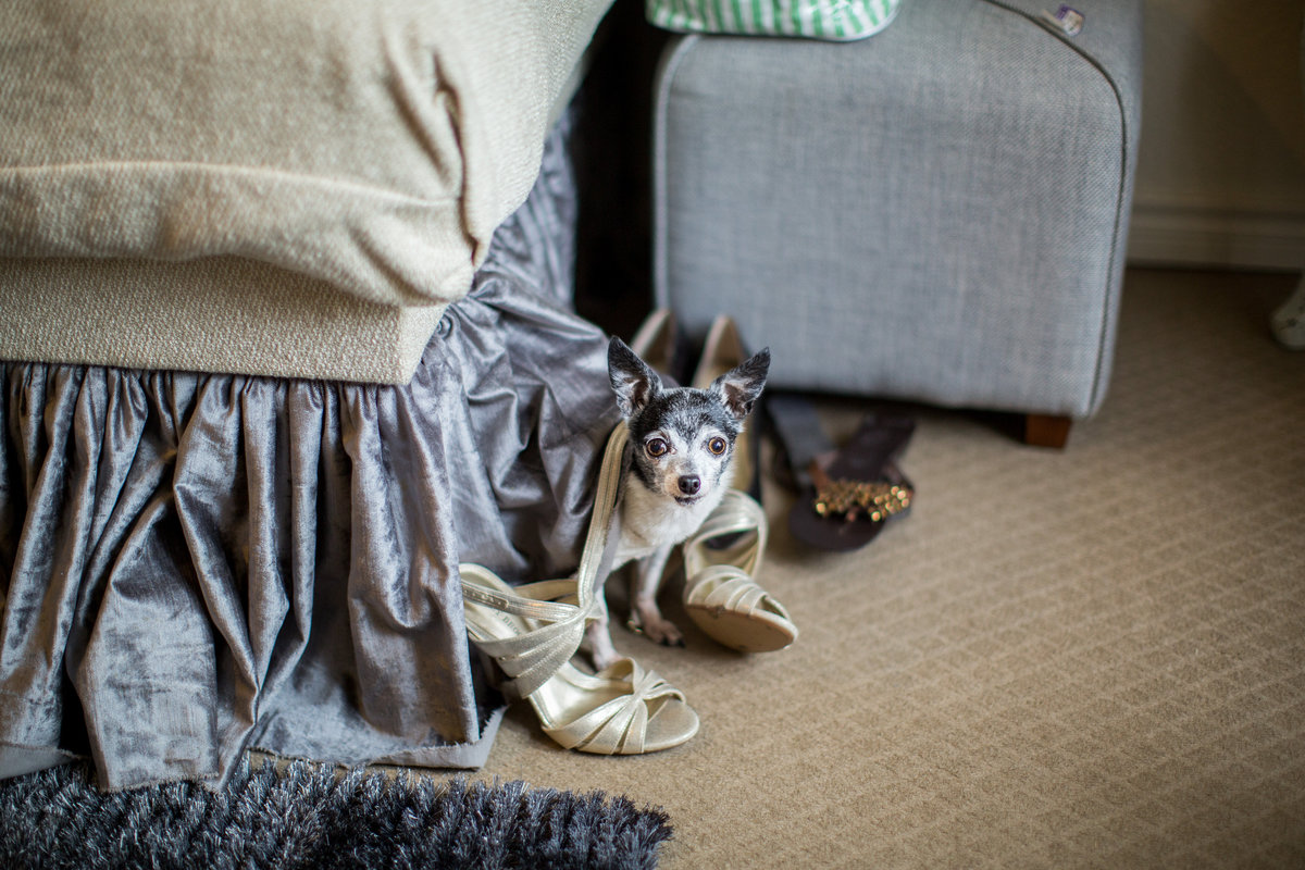 Bride's chihuahua pet dog at Vista West Ranch wedding venue hiding during getting ready