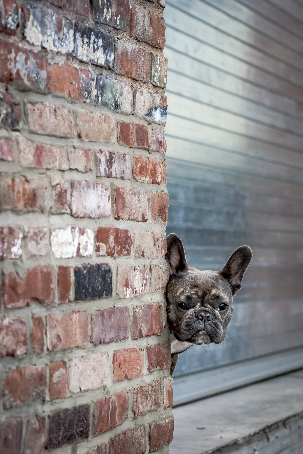 Fremch Bulldog peering from behind a brick wall