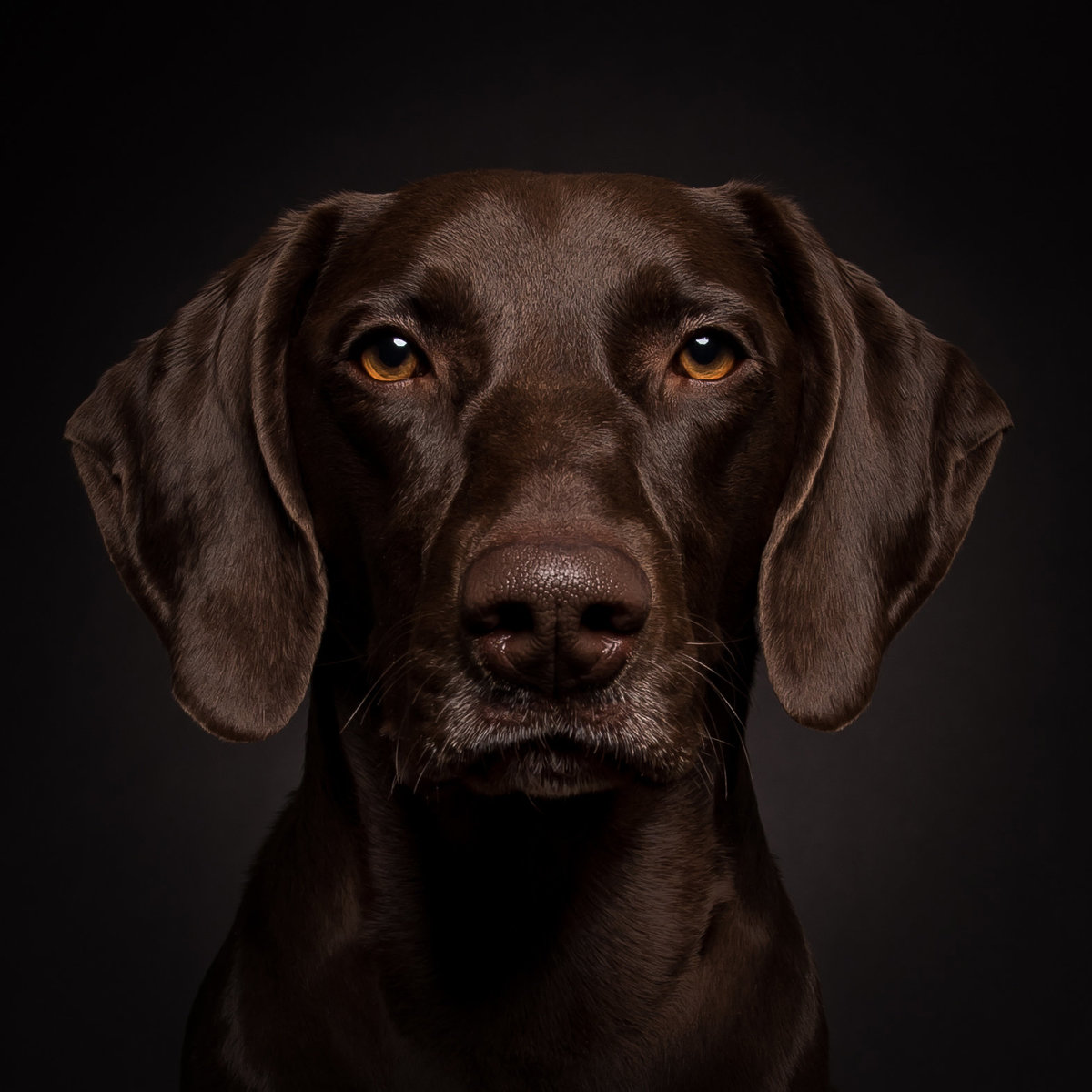 Very serious face of a brown german shorthaired pointer dog