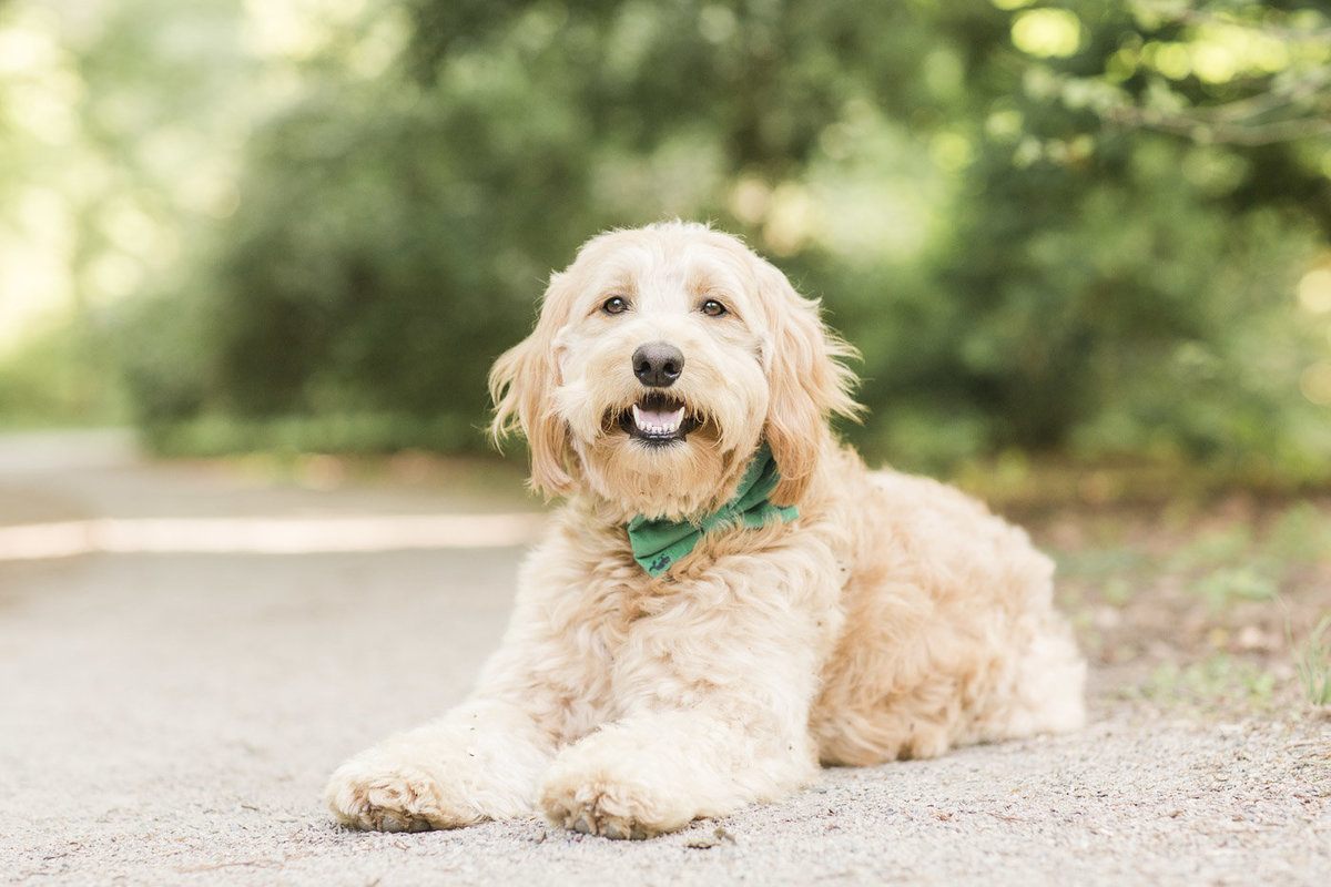 Mini Goldendoodle laying down wearing a green bow ite