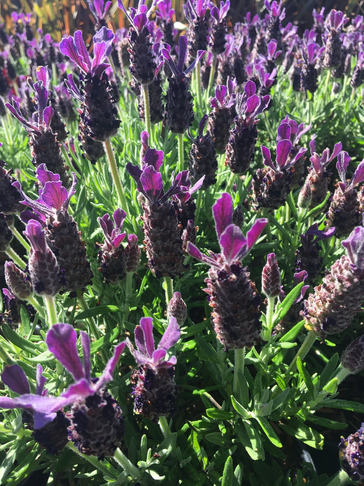 Anouk Spanish Lavender bushes