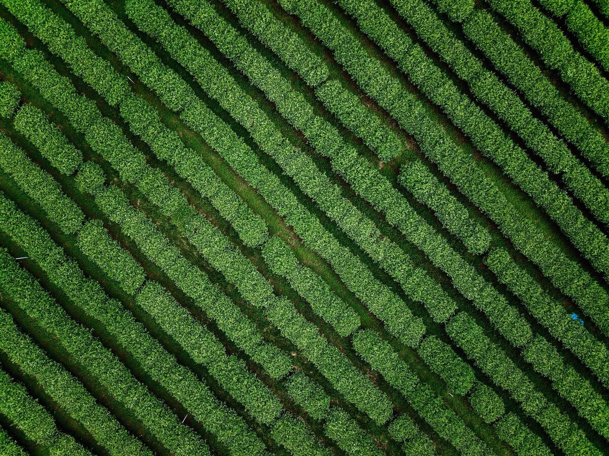 diagonal-rows-of-tea-plantation-trees-in-the-northern-thailand-shot-by-a-drone_t20_rorVZX