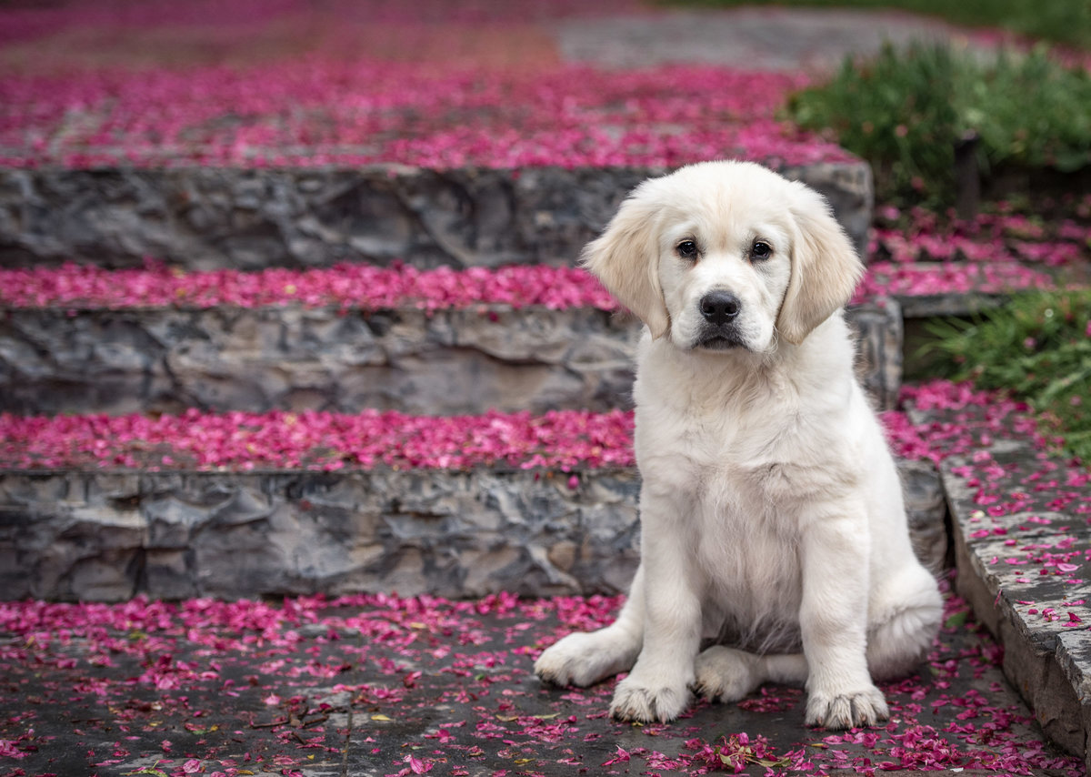 Golden Retriever Puppy on stairs surrounded with pink petals