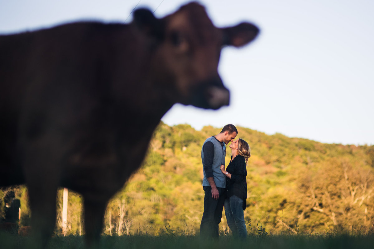 Vinson-Images-Fayetteville-Arkansas-NWA-Wedding-Photographer- cow