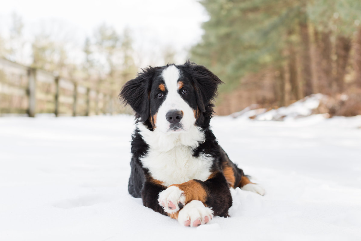 Bernese Mountain Dog laying in the snow with paws crossed