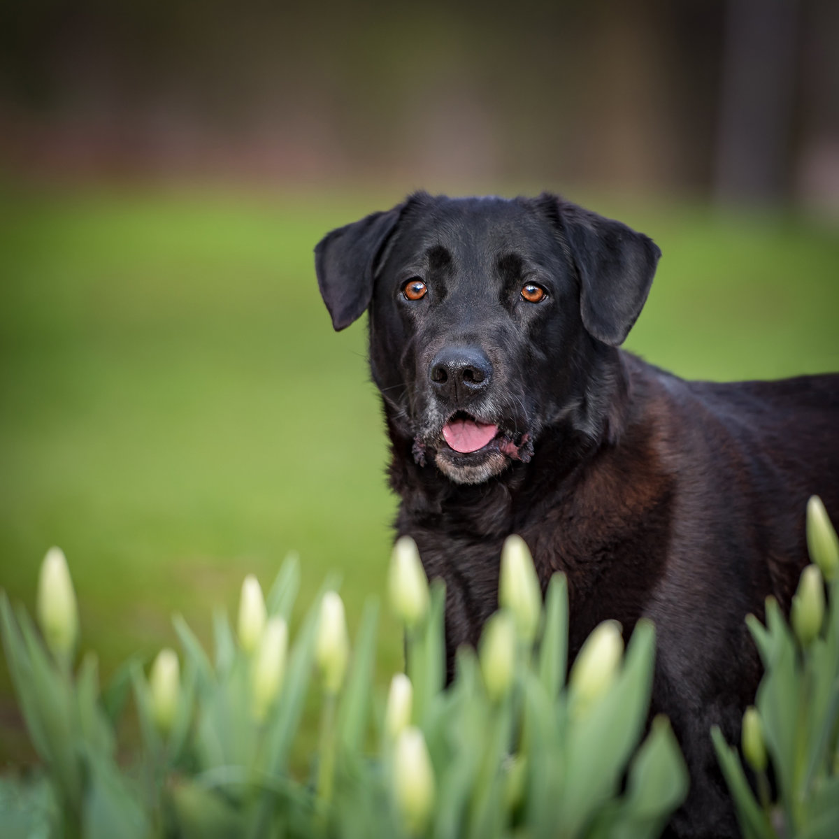Sweet Black Labrador Retriever peering from white tulips
