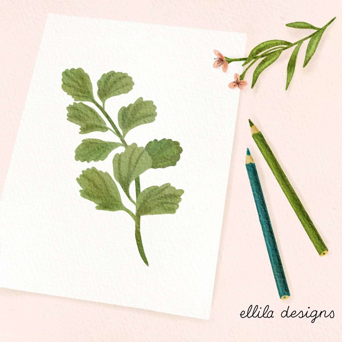 Botanical drawing illustration Ellila Designs