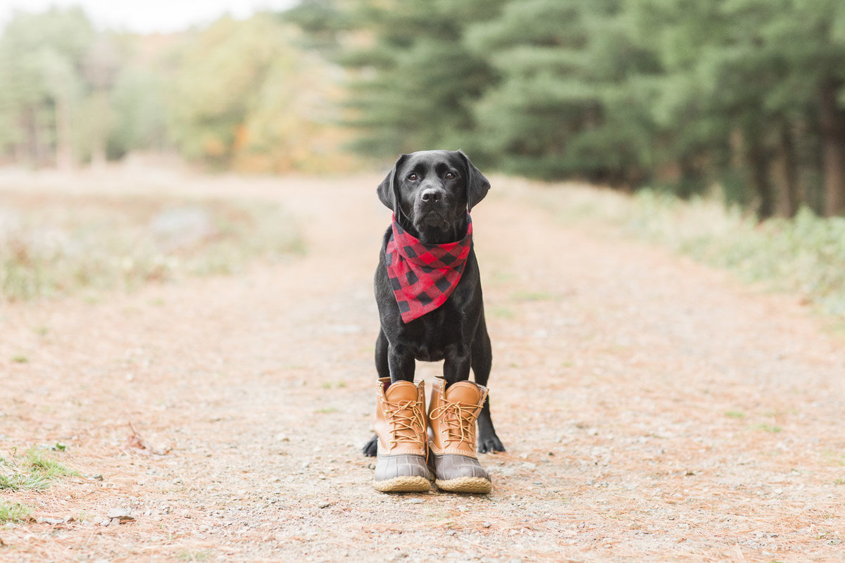 Black Lab wearing a black and red plaid scarf and LL Bean boots