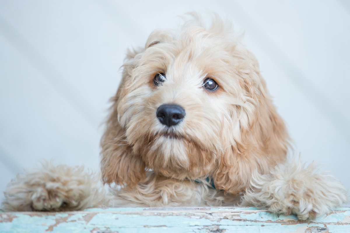 Colour portrait of cockapoo puppy