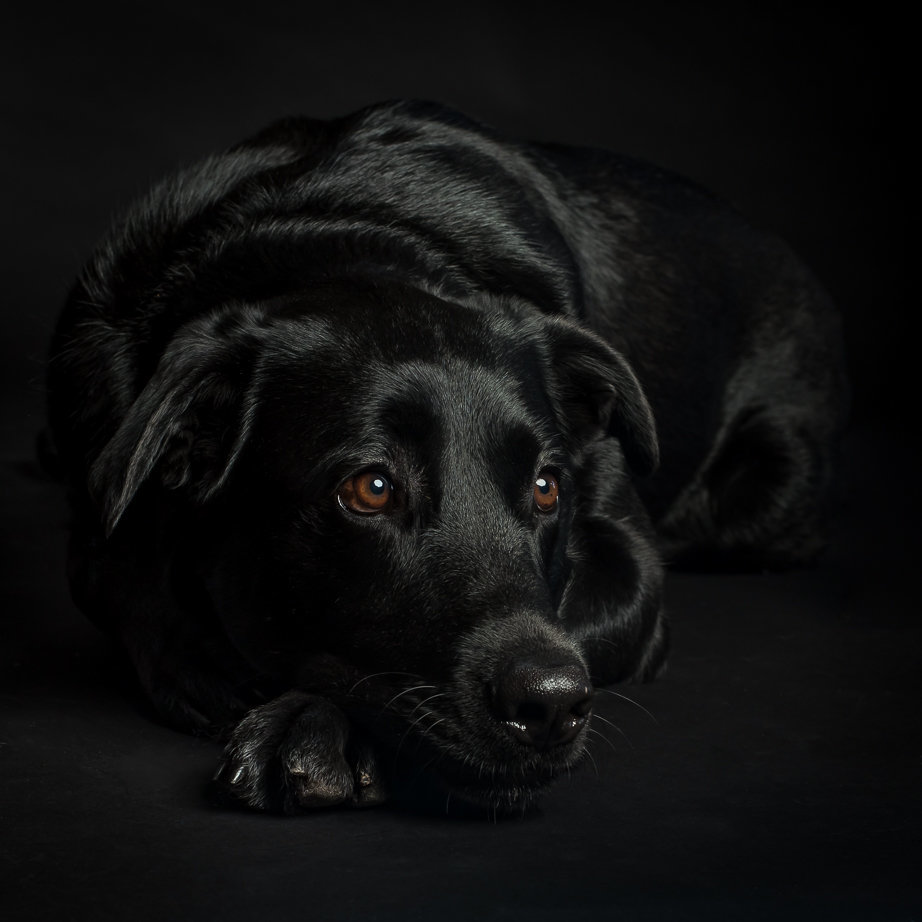 Black Labrador retriever resting head on paw with black background