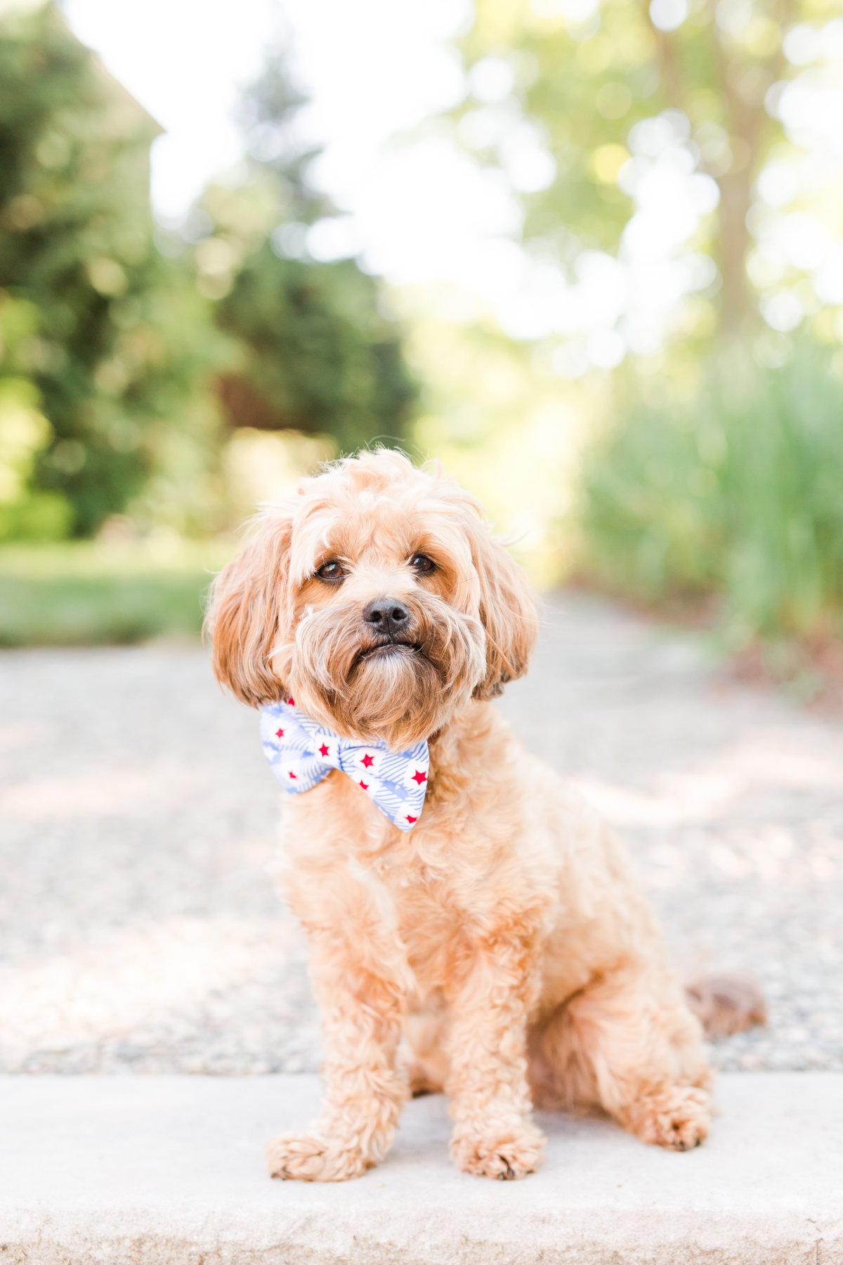 Brown Shihpoo puppy wearing fourth of July bow tie