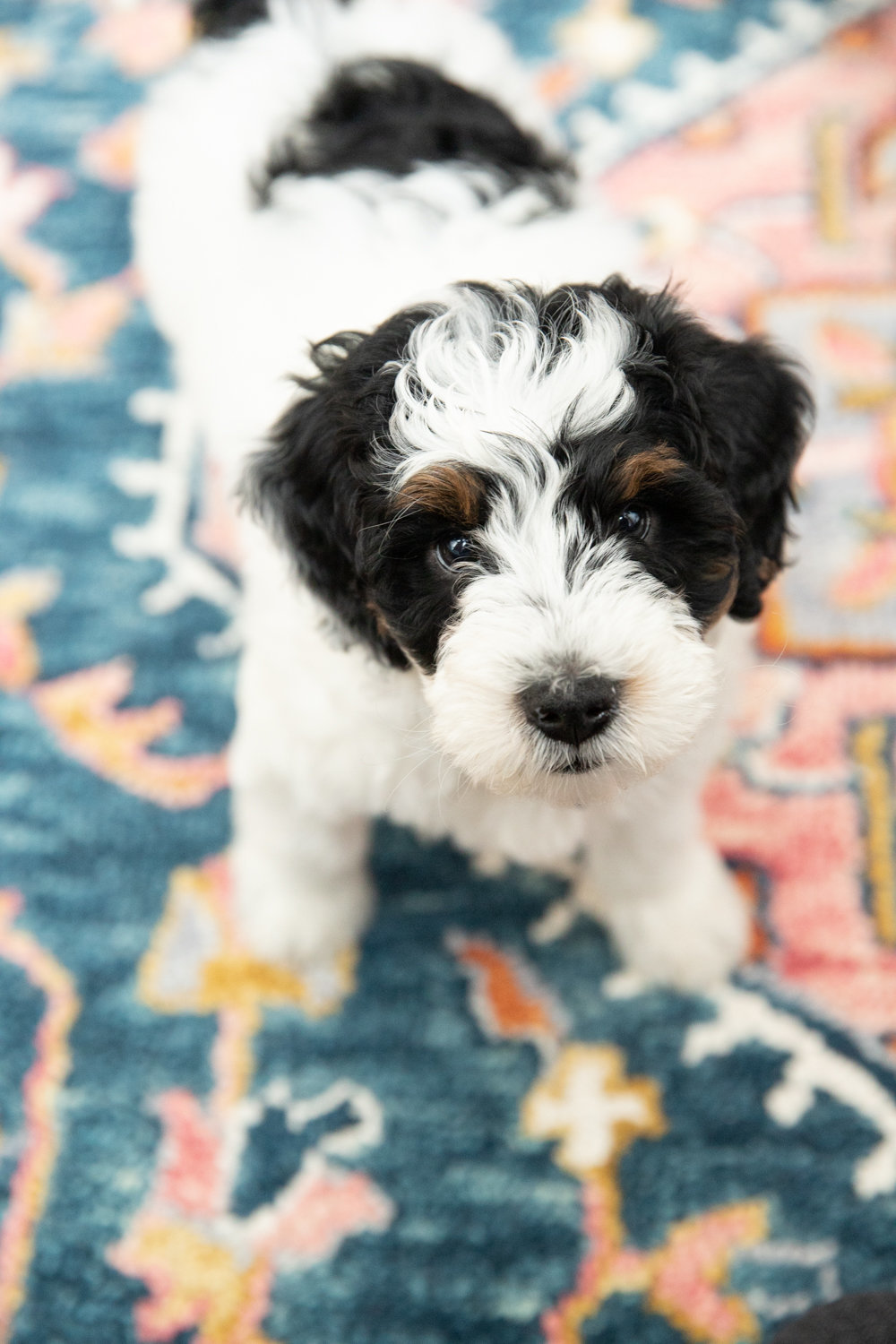 Pet portrait of 8 week old bernedoodle puppy in New York