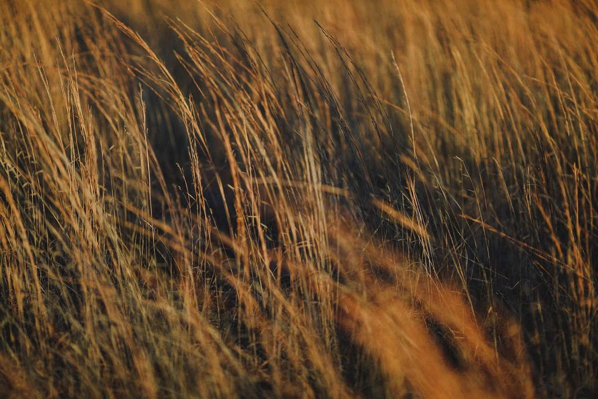 golden grass sunset