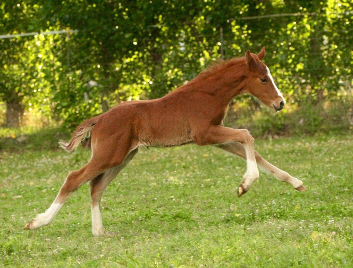 Beautiful Gallop-Connemara Sport Horse bred by Redbud Ranch
