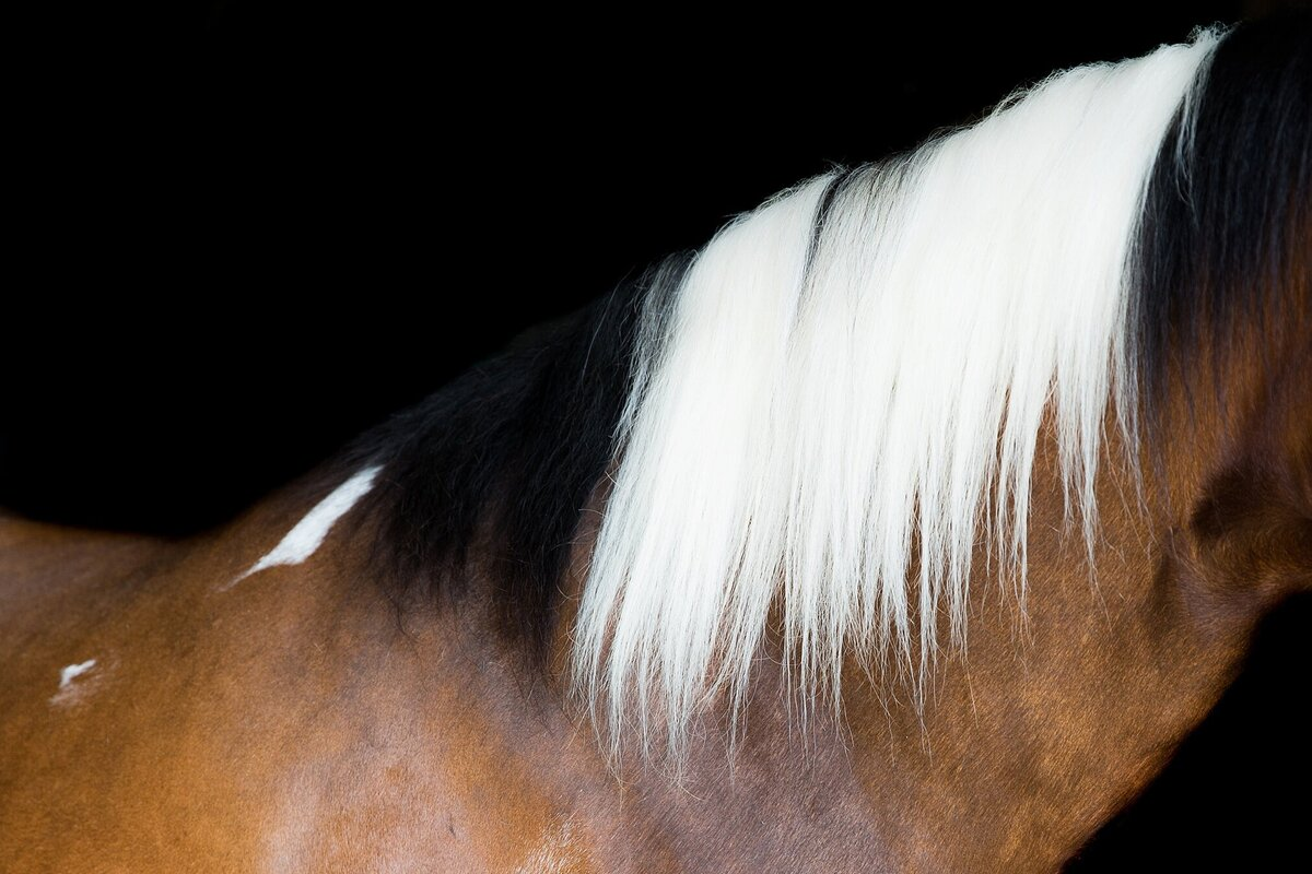 close up of the mane of a paint horse