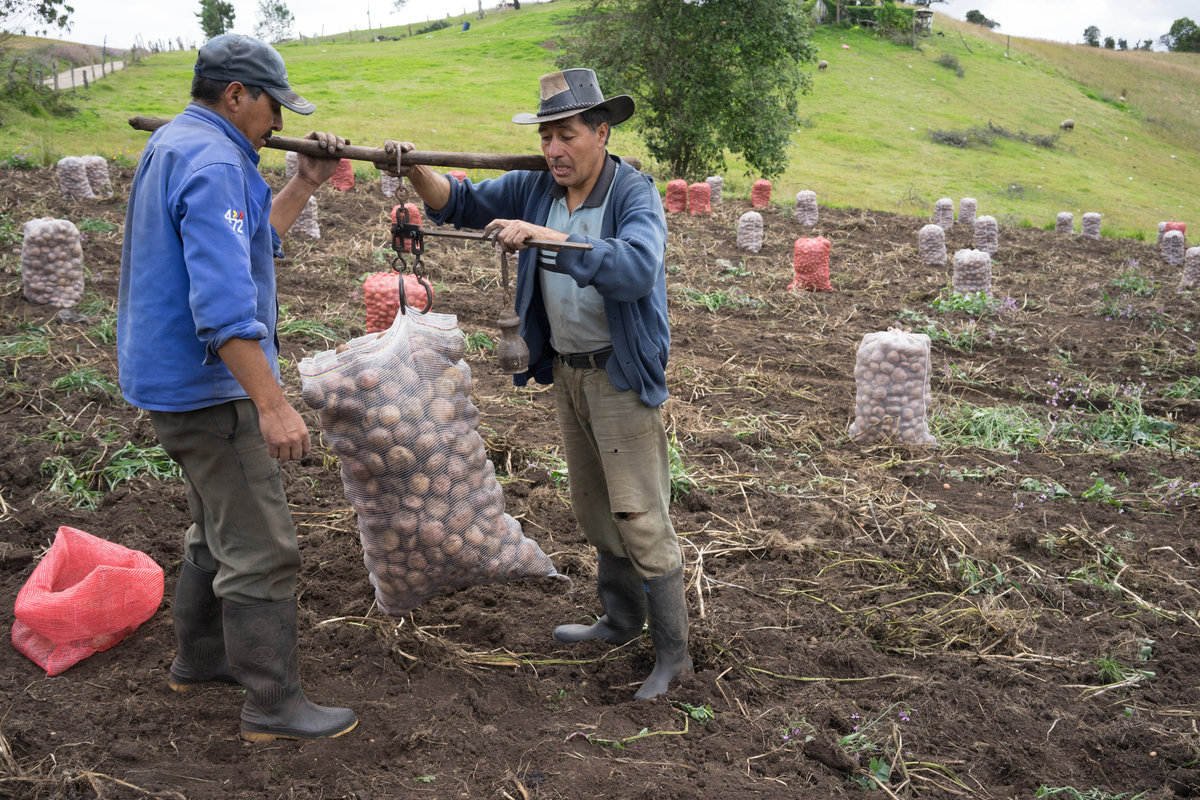 Potato harvesting outside of Villapinzón, Colombia.