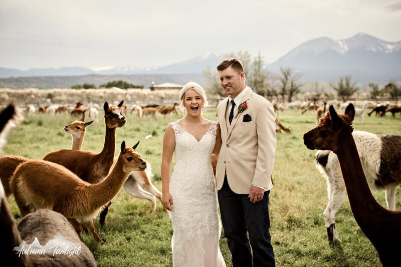 Everett Ranch Wedding Bride and Groom With Alpacas