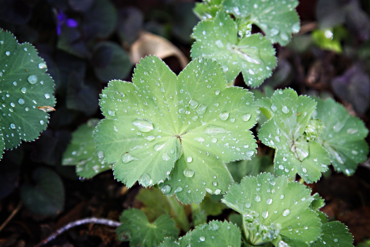 lady's mantle in the rain 1 v2
