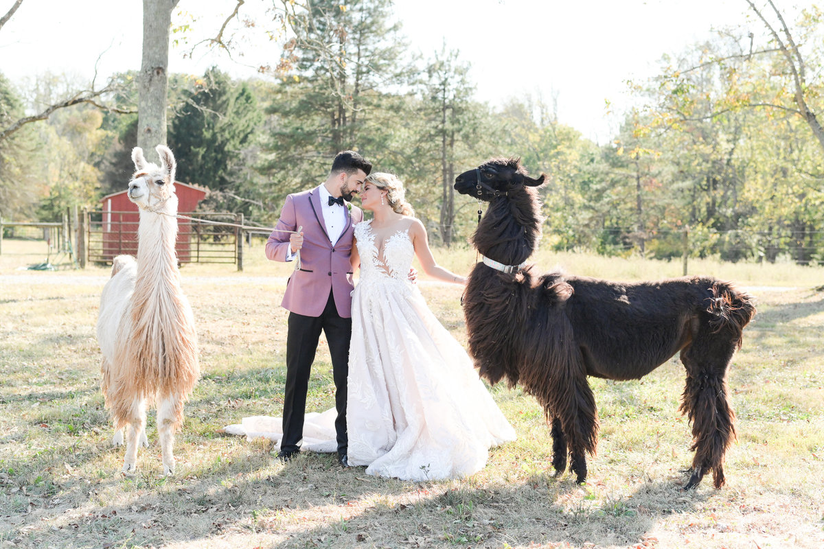 Bride and groom kiss while holding llama's on leashes