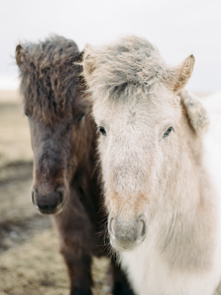 brown and white icelandic horses