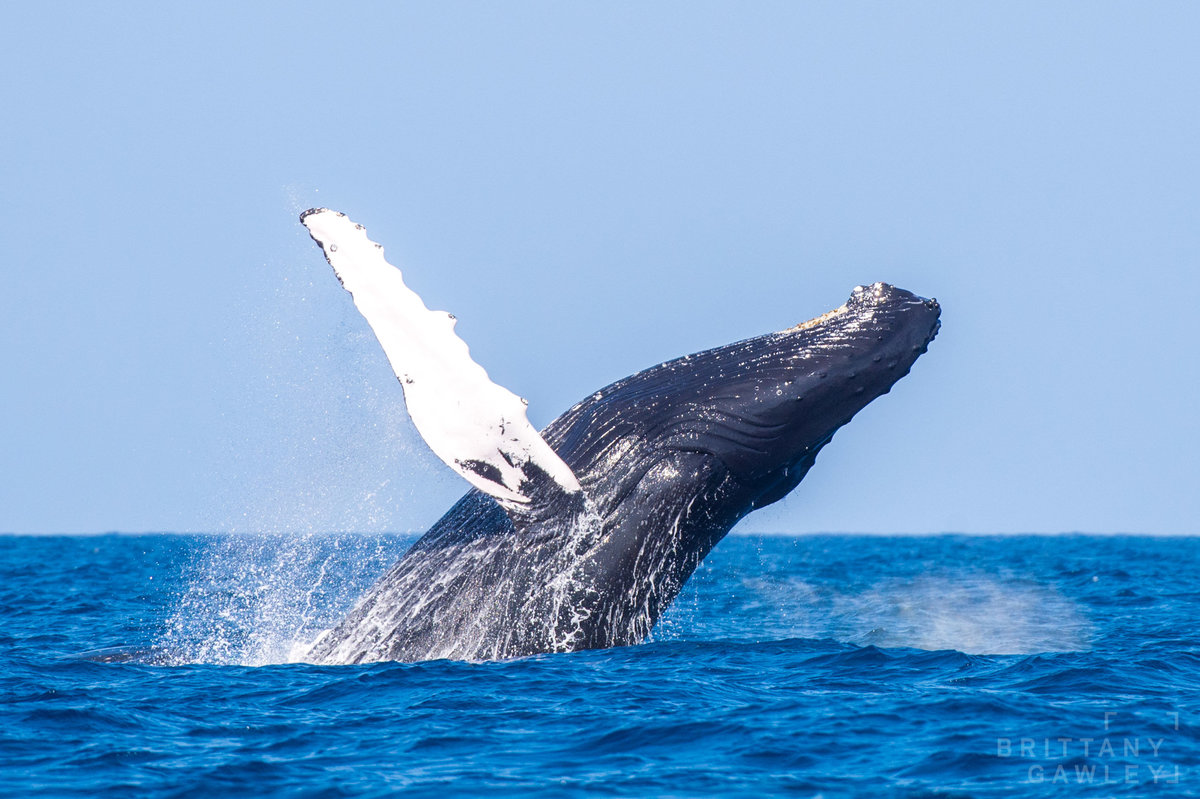 Humpback whale silverbank by Brittany Gawley Photography-2