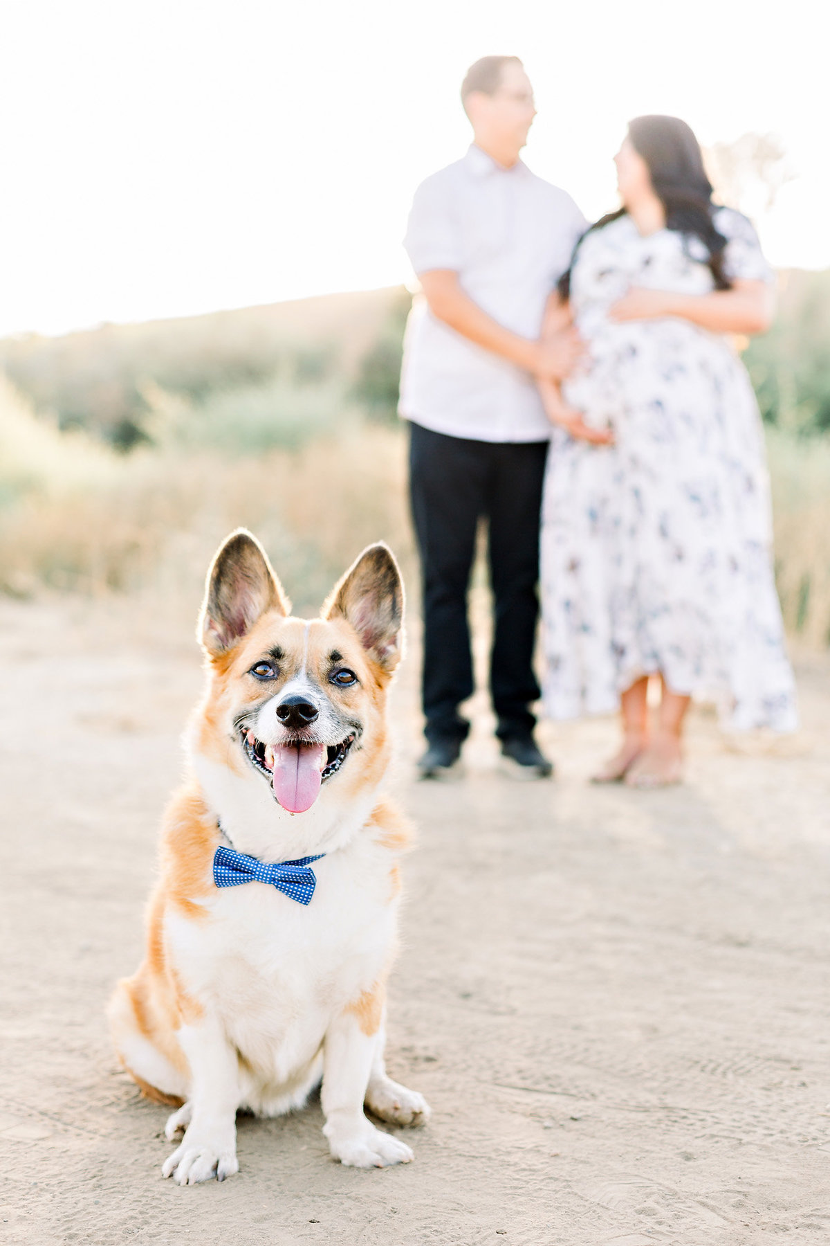 Corgi in a bow tie as a big brother