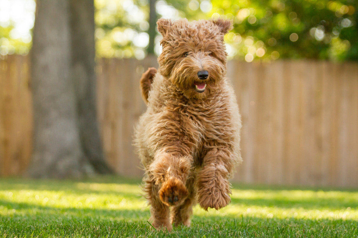 Golden Doodle Action Shot Running