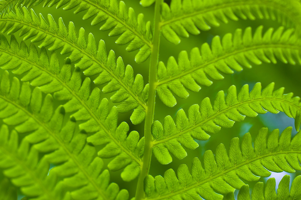 Fern_leaves_closeup - Copy