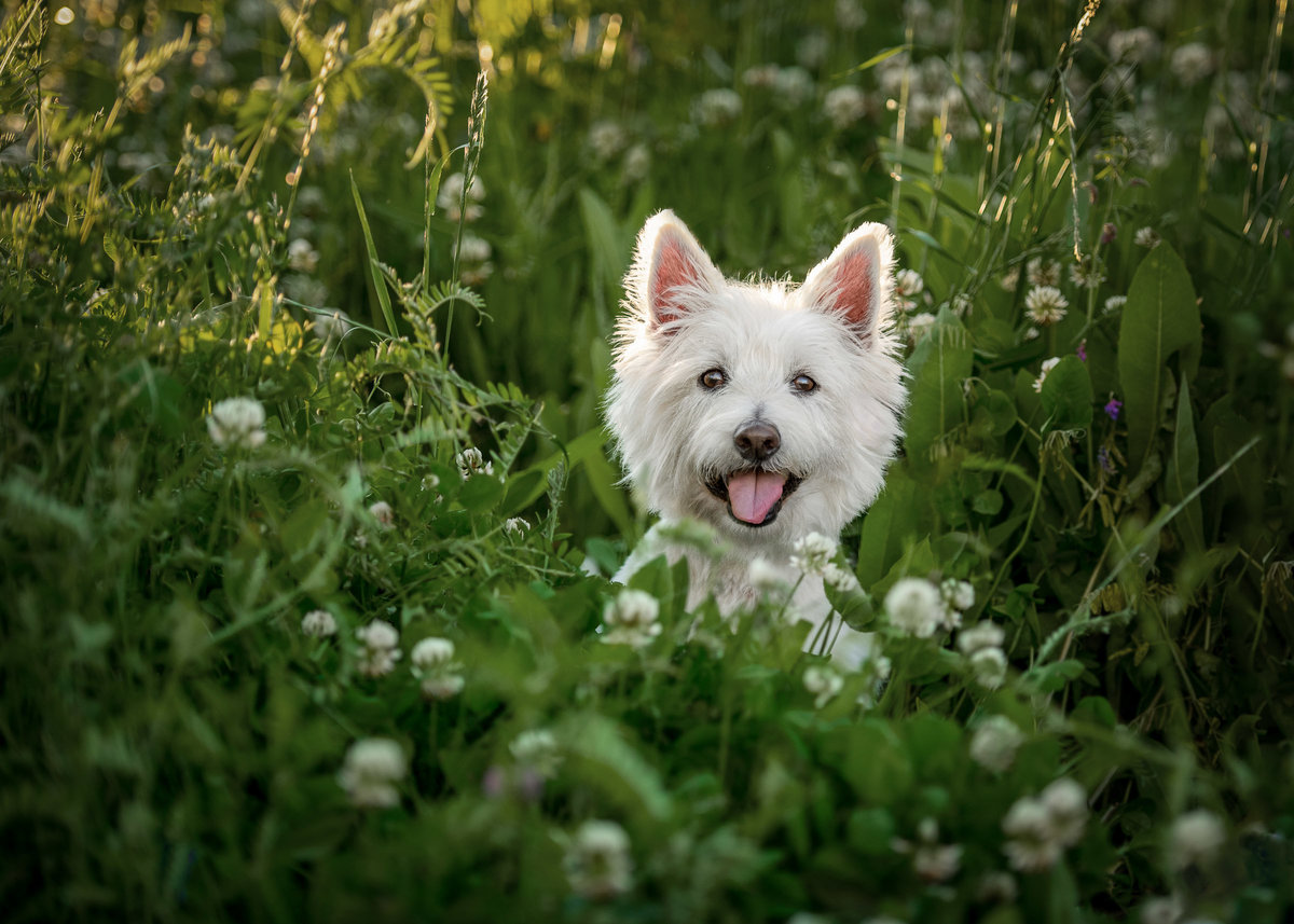 Happy West Highland Dog smiling in a field of clover