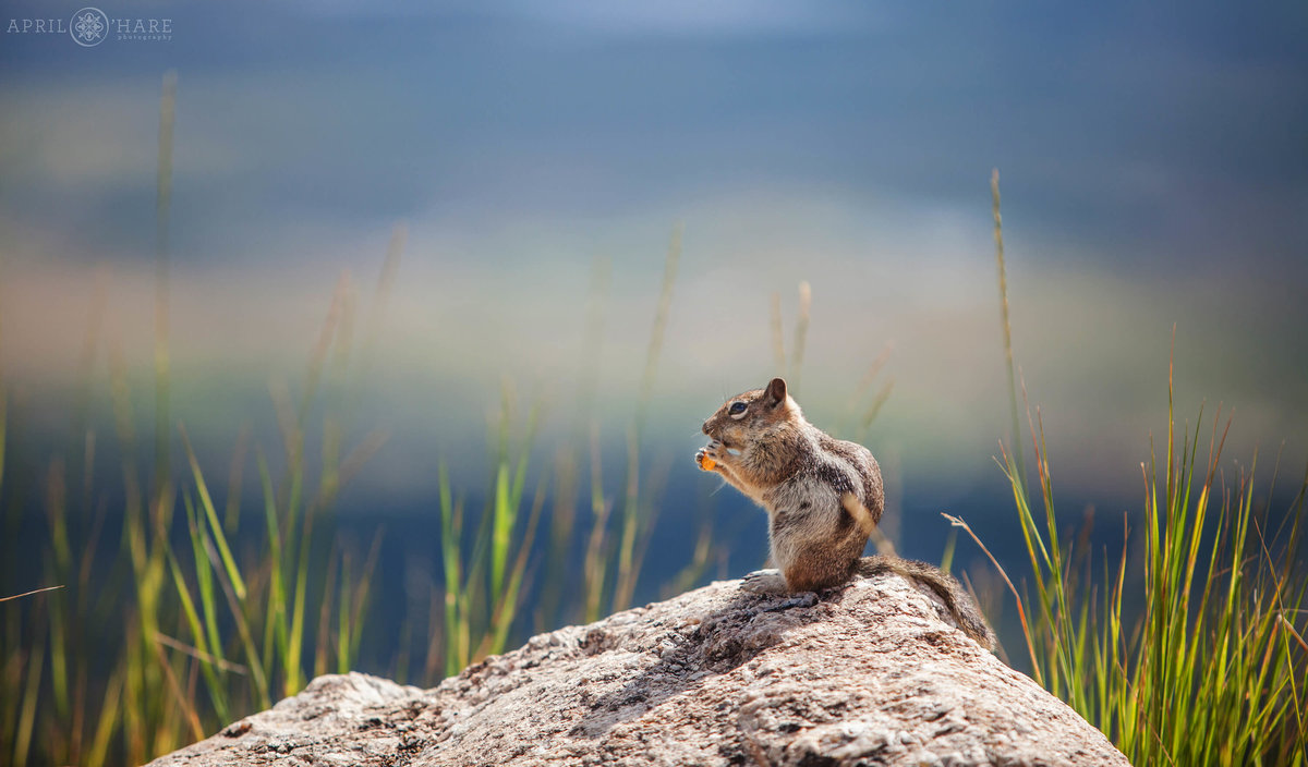 Steamboat Springs Colorado Wedding Photographer Chipmunk eats a cheeto before wedding begins