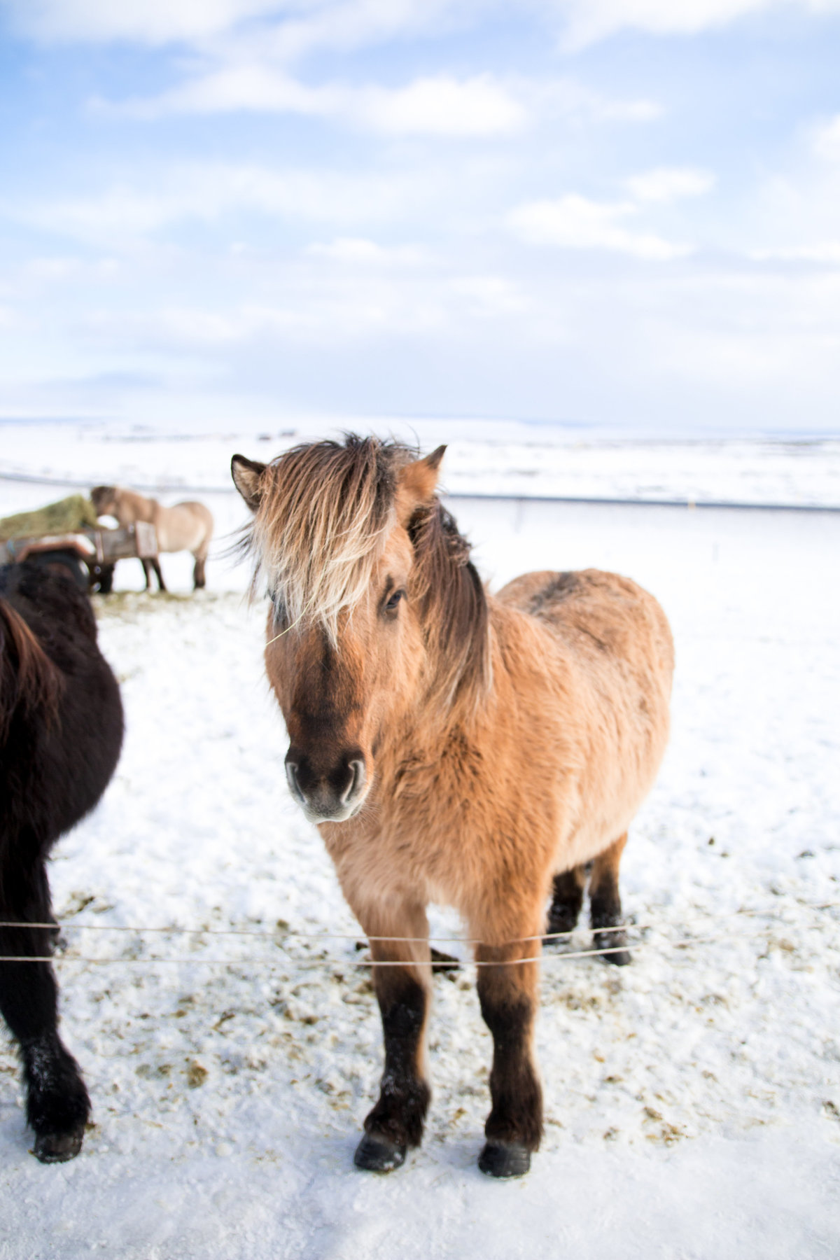 mini pony photography in Iceland