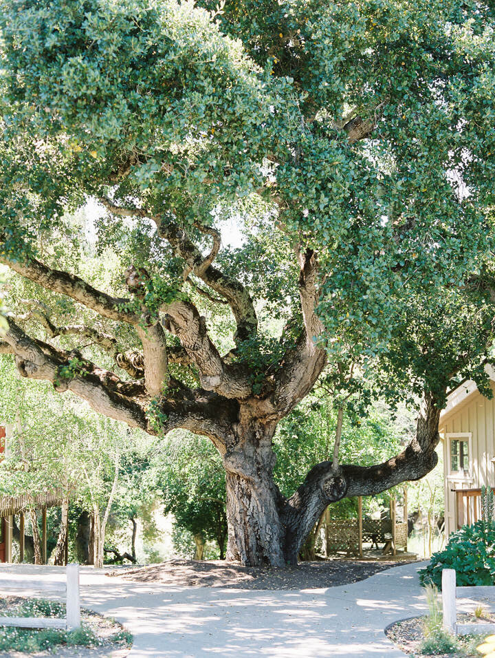 oak tree at holman ranch