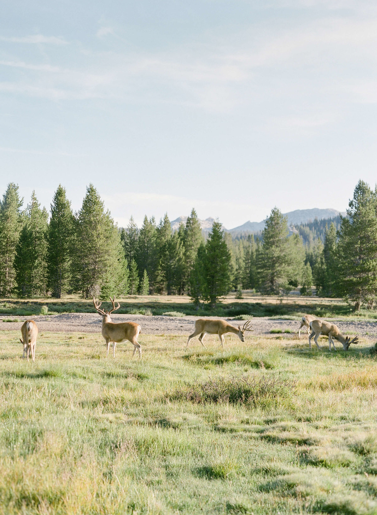 44-KTMerry-travel-photography-Yosemite-deer